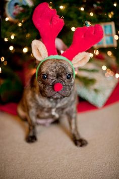 Diesel Bean Fletcher - French Bulldog, Frenchie Christmas, Merry Christmas, Frenchie, Frenchie Reindeer