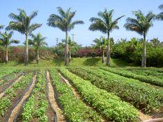Grace Garden in all its glory.  #organicfarm #maui #HaleAkuaGardenFarm