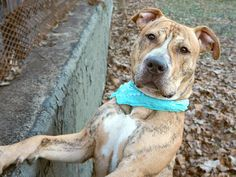 TONY - A1104134 - - Manhattan  TO BE DESTROYED 02/25/17 **ON PUBLIC LIST** -  Click for info & Current Status: http://nycdogs.urgentpodr.org/tony-a1104134/