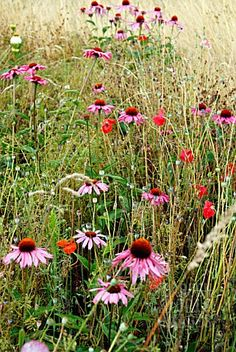 MEADOW PLANTING WITH ECHINACEA PURPUREA