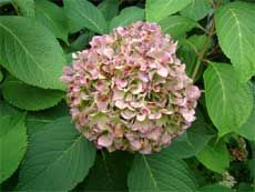 Hydrangea Winter Care: How To Protect Hydrangeas From Winter Cold And Wind - Proper hydrangea winter care will determine the success of next summer's blooms. The key to hydrangea winter protection is to protect your plant. Find what you need to do for your hydrangea in winter here.