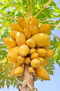 Pawpaw -- the Mango of Turtle Island!  These are soooo delicious!  They grow all over the eastern U.S. from Chesapeake Bay on down.  Just shake a tree and you have a wonderful dessert!