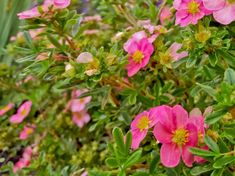 Discover the best small flowering shrubs for your home with our guide. Learn how to choose, plant, and maintain small shrubs and hedges in our handy and helpful guide! Small Evergreen Shrubs, Small Shrubs, Trees And Shrubs, Pink Flowering Bushes, Dwarf Flowering Shrubs, Shrubs For Landscaping, Planting Shrubs, Burning Bush Shrub, Bobo Hydrangea