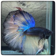 AquaBid.com - Mustard Blue big tail (1233)