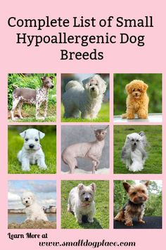 Small hypoallergenic dogs are great choices for allergy sufferers. Dog Breeds Chart, Calm Dog Breeds, Dog Breeds Little, All Small Dog Breeds, Best Dog Breeds, Small Dogs, Hyperallergenic Dogs, Lap Dogs, Dogs And Puppies
