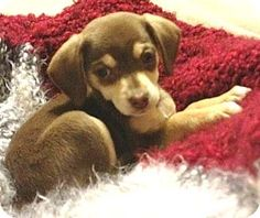Myla is an adorable 12 week old female Chiweenie puppy