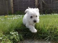 West Highland Terrier puppy.