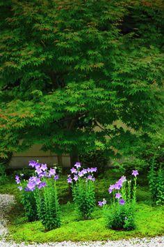 京都廬山寺の源氏庭の見ごろの桔梗(ききょう)と青もみじ
