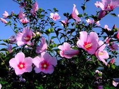 #Mugunghwa, National Flower of South Korea | The Hibiscus syriacus also known as Rose of Sharon is the National Flower of South Korea. It is called Mugunghwa in Korean. The name comes from Mugung which means immortality.