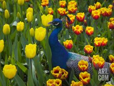 Peacock with Tulips, Keukenhof Gardens, Amsterdam, Netherlands Photographic Print by Keren Su at Art.com