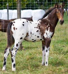 love the neat markings on this colt, especially going down his hindlegs. Baby Horses, Cute Horses, Horse Love, Wild Horses, Most Beautiful Horses, All The Pretty Horses, Animals Beautiful, Cute Animals, Horse Photos