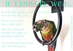 This is my sidekick, my friend, my Peregrin. He is a Green Cheek Conure Parrot, and is named after Peregrin Took from The Lord of the Rings. The world would have less color without you, Peregrin.