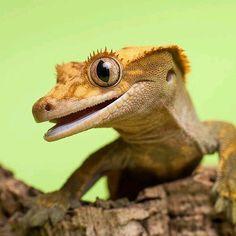 Crested gecko Photo by Anna Derleta #WildlifeFriend by wildlifefriend