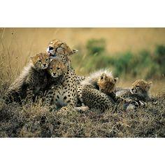 Bathtime in Maasailand - Cheetahs