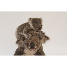 photo by @joelsartore | This is Augustine a mother koala with her joey which is what we call koala babies. When a joey is first born it is as small as a jellybean! The mother then carries her baby in her pouch for half a year giving it time to grow fur and develop eyesight. Please follow me @joelsartore to meet more #adorable #PhotoArk members! #joelsartore #koala #cute by natgeo