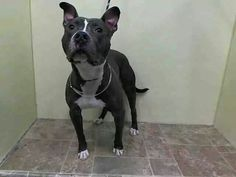 TO BE DESTROYED 7/28/14 Manhattan Center   My name is CRIXUS. My Animal ID # is A1002351. I am a neutered male gray and white pit bull mix. The shelter thinks I am about 1 YEAR 4 MONTHS old.  I came in the shelter as a OWNER SUR on 07/21/2014 from NY 10029, owner surrender reason stated was ATT PEOPLE. https://m.facebook.com/photo.php?fbid=841891419157072&id=152876678058553&set=a.611290788883804.1073741851.152876678058553&source=46