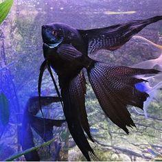 #aquariums #aquariumfish #aquariumhobby #aquarium #freshwaterhobby #freshwaterfishtank #angelfishtank #angelcoholic #angelfish Tropical Freshwater Fish, Tropical Fish Aquarium, Tropical Fish Tanks, Freshwater Aquarium Fish, Saltwater Aquarium, Planted Aquarium, Fish Ocean, Cichlid Fish, Discus Fish