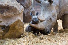 Sumatran rhinoceros baby | Hungeree