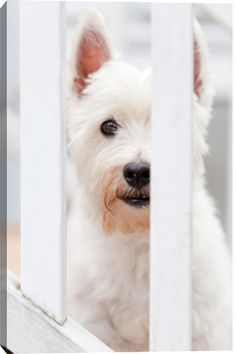 West Highland White Terrier(Westie) by Winterbabies Photography by Karen Macias
