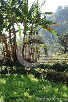 Photo about An image of the corner of a rural mountain agricultural field in India with a clump of banana trees and irrigation channels. Image of clump, banana, field - 90089715 Rural India, Irrigation, Agriculture, Fields, Channel, Corner, Tropical, Mountain, Trees
