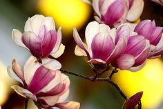 LSU Japanese Magnolias