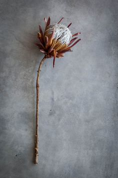 #protea - a firm favourite at #Weylandts stores.