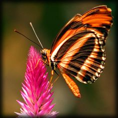 ~~ tiger stripes butterfly by jaki good miller~~