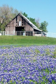 Texas Bluebonnets ~ Some of the area around Ennis is rural ranch property, featuring old barns and rustic structures that make great backdrops for bluebonnet fields. Country Barns, Old Barns, Country Life, Country Living, Ennis Texas, Texas Bluebonnets, Country Scenes, Farms Living, Old Houses