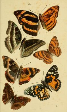 Butterfly illustration from 'A Catalogue of the Lepidopterous Insects in the Museum of the Hon. East-India Company.' By Thomas Horsfield and Frederic Moore. Published in 1857 by W.H. Allen & Co., London.