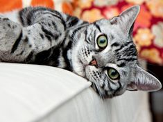 This beloved cat breed is often described as robust and sturdy, with a curious nature, and is known for its excellent hunting skills. American Shorthair cats also have a thoughtful and loving. American Bobtail Cat, American Shorthair Cat, British Shorthair, Grey Cat Wallpaper, Hd Wallpaper, Wallpapers, Gato Bobtail, Kitty Cats, Tabby Kittens