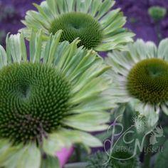 Echinacea 'Green Jewel' - Peter C. Nijssen