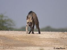 Striped Hyena, Indian Hyena Photographs.