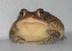Die Floridakröte Funny Frogs, Cute Frogs, Sapo Frog, Frog And Toad, Reptiles And Amphibians, Animal Wallpaper, Animal Photography, Art Reference, Cute Animals