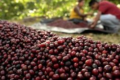 Coffee cherries and pickers