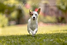 Jack Russell Terrier #dog #happy #run #jackrussell #terrier