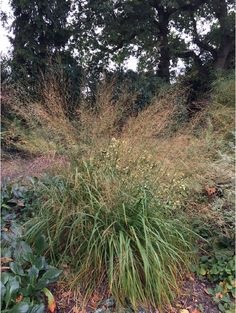 Molinia caerulea 'Transparent' - The Beth Chatto Gardens Beth Chatto, Mail Order Plants, Prairie Planting, Alpine Plants, Herbaceous Perennials, Isle Of Wight, Ornamental Grasses, Scottish Highlands, Time Of The Year