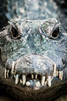 Yikes!! Vida Animal, Mundo Animal, Crocodile Pictures, Alligators, Bird Pictures, Animal Pictures, Animals And Pets, Wild Animals Photos, Scary Animals