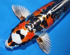""" BOW TIE GHOST"" KIN Kikokuryu 14"" Live koi Pond Fish Koibay We combine shipping   eBay"