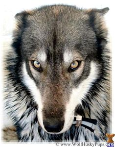 Eastern Timber Wolf | Wolf%20Husky%20Pups_wolf-dog-c2013812191419.jpg