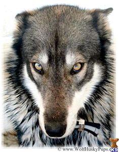Eastern Timber Wolf | Wolf%20Husky%20Pups_wolf-dog-c2013812191419.jpg