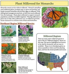 You can help stop the Monarch Butterfly Massacre by gardening (plant milkweed!) is part of You Can Help Stop The Monarch Butterfly Massacre By - Nearly a billion monarch butterflies have vanished in the past 25 years! Butterfly Food, Butterfly Plants, Butterfly Feeder, Butterfly Tree, Monarch Butterfly Migration, Milkweed Plant, Swamp Milkweed, Hummingbird Garden, Native Plants