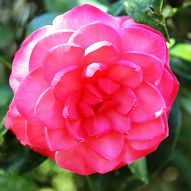 Camellias (in January...Tips) (Apr. 2013)