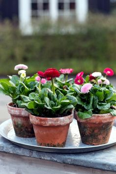 Spring is planting time - What is the plant flowers in planters? Spring Garden, English Country Gardens, Amazing Flowers, Beautiful Gardens, Winter Garden, Winter Potted Plants, Country Gardening, Plants, Planting Flowers