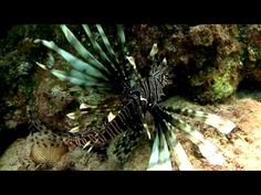 Lionfish Invasion Video from Conch Salad TV- Part 1: The Source and the ...