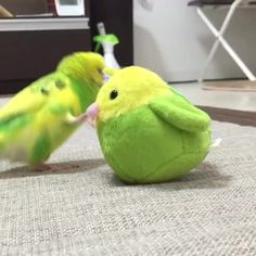 Vine of wee budgie and toys