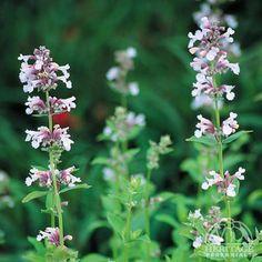"Nepeta grandiflora 'Dawn to Dusk' - full sun, 24"" high x 18"", cut back to 6"" midsummer to rejuvenate"