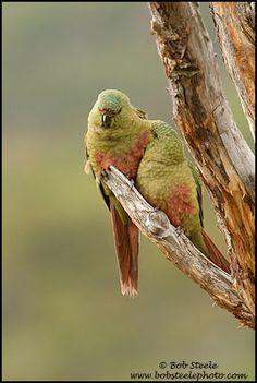 Austral Parakeet (Enicognathus ferrugineus)