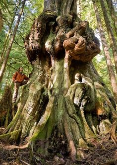 """Canada's Gnarliest Tree! This monster of a redcedar was found growing in the upper Avatar Grove less than 10 km's from Port Renfrew on Vancouver Island, BC, Canada"" #explorebc"