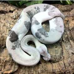 Super Pewter - Morph List - World of Ball Pythons Ball Python Morphs, Cute Reptiles, Pet Snake, Reptile Enclosure, Exotic Pets, Pewter, Cute Animals, Snakes, Geckos