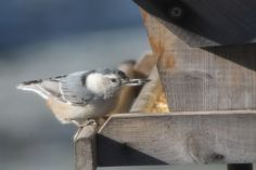 A hungry White breasted Nuthatch lol Tammy Taylor-Kosiba's Photography 2012